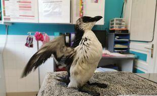 Un pingouin a été recueilli le 1er janvier par un centre de soins des animaux sauvages, situé dans les Pyrénées Atlantiques.