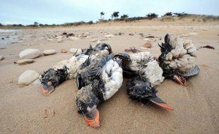 """Affaiblis et épuisés par les tempêtes successives, plus de 21.000 oiseaux marins morts se sont échoués sur les plages du littoral atlantique depuis fin janvier, une """"hécatombe"""" sans précédent depuis au moins un siècle, selon la Ligue de protection des oiseaux."""