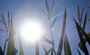Illustration d'un champ de maïs sous le soleil.