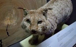 Des témoignages attestent de la présence du lynx boréal dans les Pyrénées il y a une cinquantaine d'années. Il a complètement disparue.