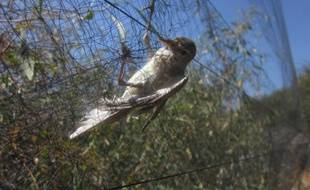 Photo prise le 16 avril 2014 à Famagouste (est de Chypre) fournie par l'association BirdLife Cyprus montrant un oiseau pris dans un filet