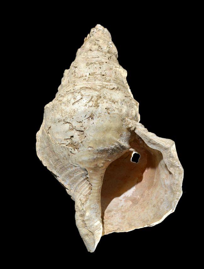 La conque utilisée pour produire du son par les Magdaléniens qui vivaient il y a 18.000 ans.