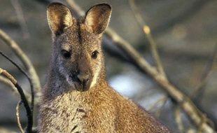 Le wallaby s'était enfui de son enclos via un tuyau d'évacuation. (illustration)