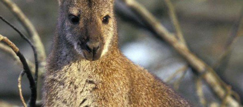 Un wallaby faisait partie des espèces détenues en captivité (photo d'illustration)