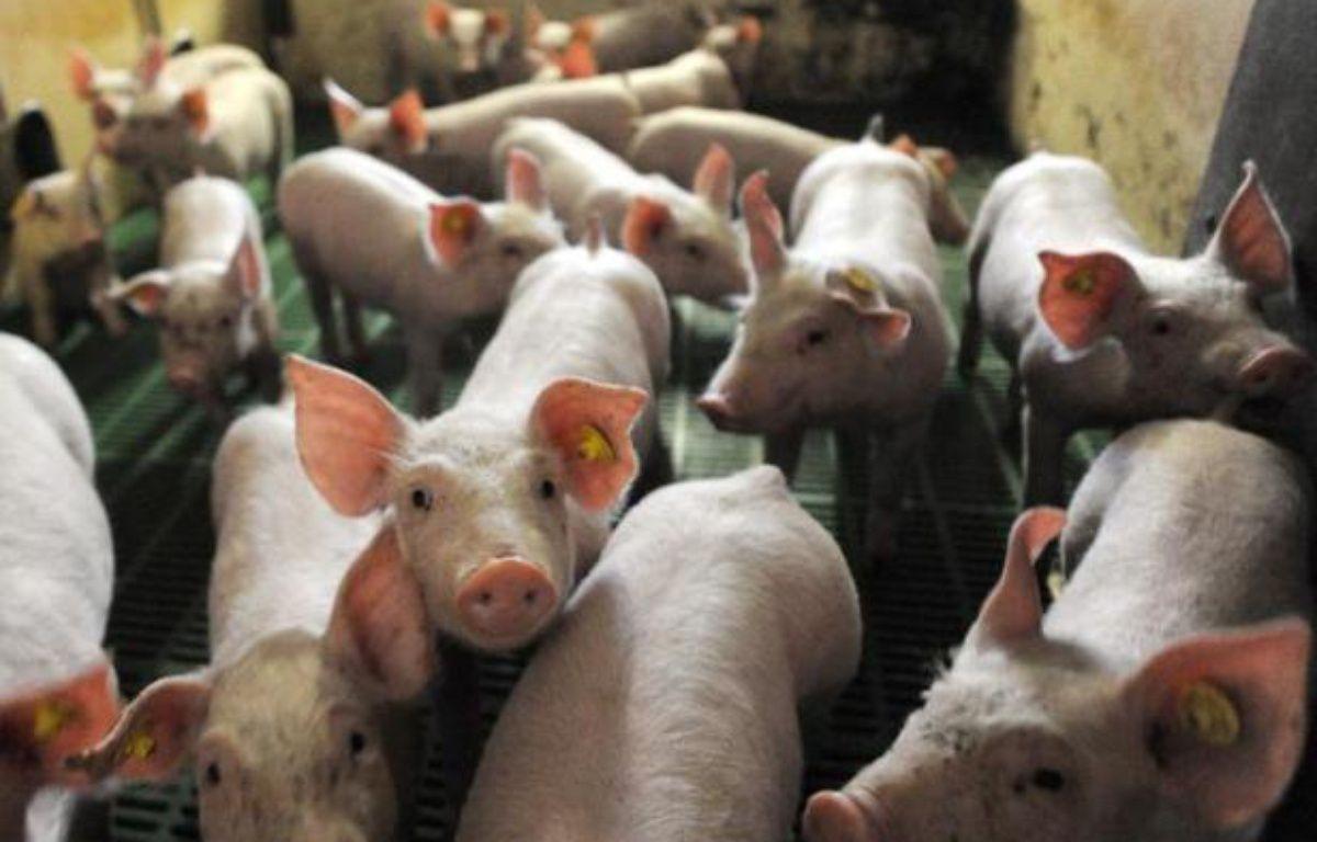 Des cochons, dans un élevage français en juillet 2010 (illustration). – Denis Charlet AFP