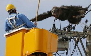 Un homme tente de capturer un chimpanzé échappé d'un zoo à Sendai, au nord du Japon, le 14 avril 2016.
