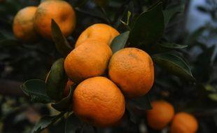 Des orangers en Inde (image d'illustration).