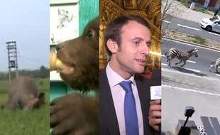Macron chante, un ourson au biberon, des zébres en ville, un premier ministre descend de la bière cul sec et un éléphant pas content
