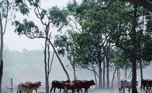 Elevage bovin en Australie.