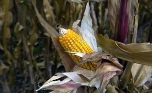 Le maïs transgénique de Monsanto.