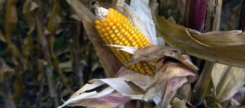 Plus aucun permis d'importation de maïs  transgénique ne sera délivré au Mexique d'ici trois ans. (Illustration)