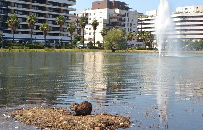 Un ragondin, à Port-Marianne à Montpellier.