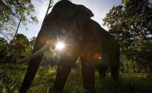 """L'éléphant de Sumatra (Indonésie) disparaîtra """"dans moins de 30 ans"""" si rien n'est fait pour stopper la destruction de son habitat naturel, a averti mardi l'organisation de protection de l'environnement WWF."""