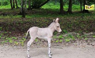 Chébéli, le nouveau-né âne de Somalie du zoo de Thoiry (Yvelines).