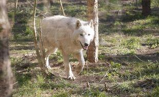 Les autorités françaises ont relevé fin 2018 le quota d'autorisations d'abattage de loups, de 43 à 51 bêtes pour l'année.