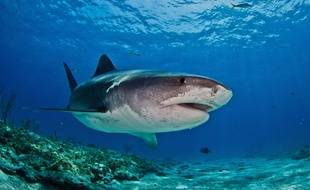 Un requin-tigre au large des Philippines.