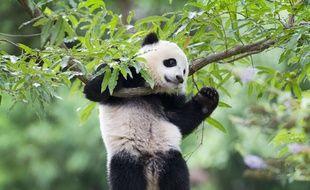 Un bébé panda s'amuse au zoo de Washington le 23 août 2014.