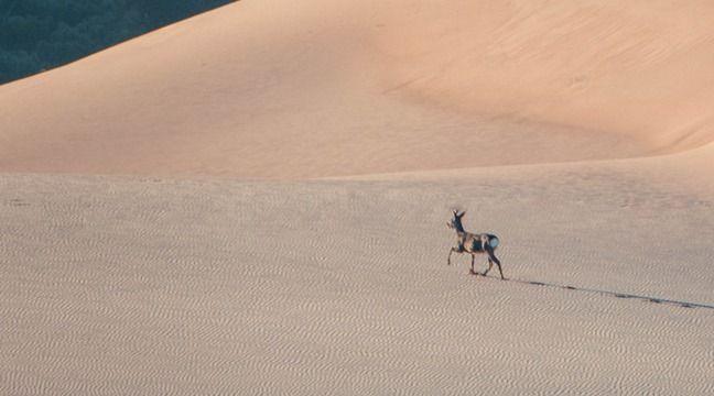 Gros succès pour cette photo de chevreuil grimpant la Dune du Pilat