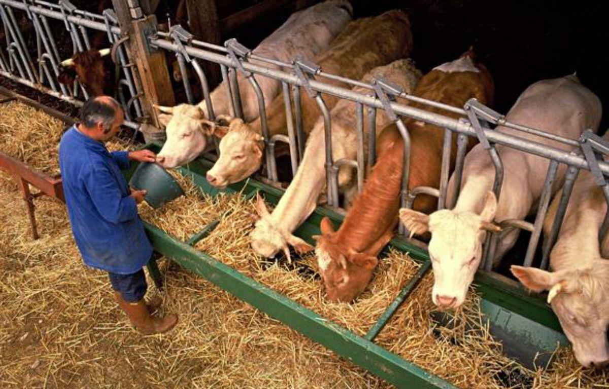 L'élevage bovin est un gros émetteur de gaz à effet de serre. – GILE MICHEL/SIPA