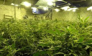 Illustration de plants de cannabis.