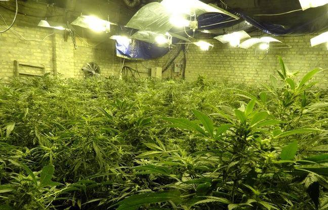 Plus de 500 pieds de cannabis étaient cultivés dans une ferme près de Dunkerque.