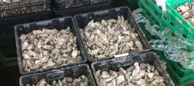 Les huîtres des parcs, une fois triées, sont stockées dans l'eau des mannes, sortes de petits bassins proches de la chaîne de conditionnement.
