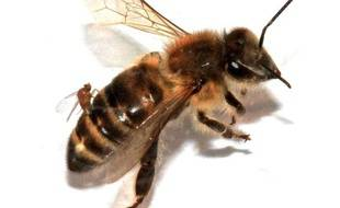 Image d'une abeille avec le fameux parasite prise à l'Université de San Francisco.