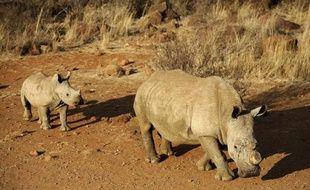 Un rhinocéros à la corne coupée suivi de son petit