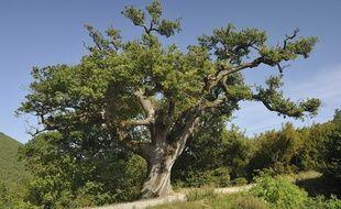 Un chêne remarquable à Gigors-et-Lozeron.