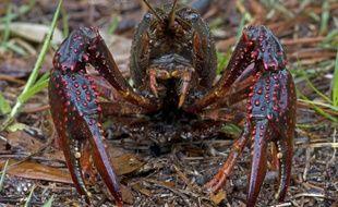 La prolifération de l'écrevisse de Louisiane est un véritable souci pour l'environnement.