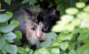 Les chats sauvages tueraient entre cinq et 30 proies chacun et chaque jour, en Australie (photo d'illustration).