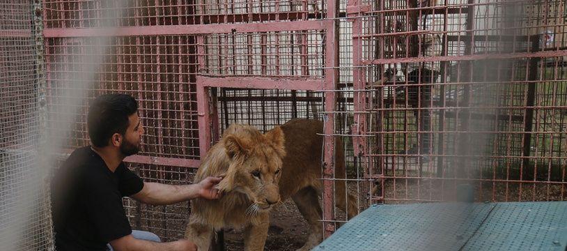 Les animaux du zoo de Gaza ont été endormis avant le transfert.