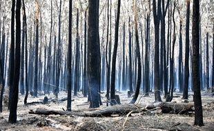 Des troncs d'arbres calcinés après un incendie dans une forêt à 350 km au nord de Sydney, le 10 novembre 2019.