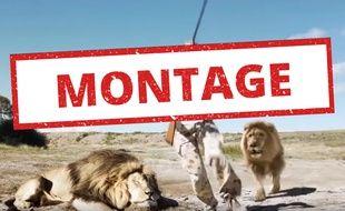 Cette vidéo montrant des chasseurs attaqués par un lion est un montage.