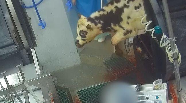 Un abattoir de veaux en Dordogne suspendu par le ministère de l'Agriculture