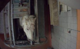 Une vidéo publiée par l'association L214 le 29 juin 2016, montre un cheval seulement étourdi qui va être abattu.