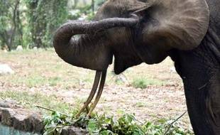 Un éléphant dans le zoo d'Abidjan , le 10 mars 2015