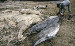 Un garde de l'office national de la chasse faune sauvage prend la taille d 'une dizaine de dauphins trouvés échoués sur une plage du littoral atlantique. (Photo illustration).