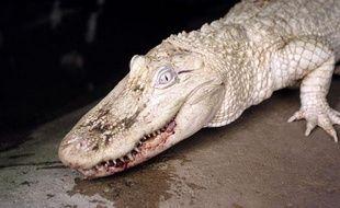 Un alligator albinos au parc zoologique de Beauvoir.
