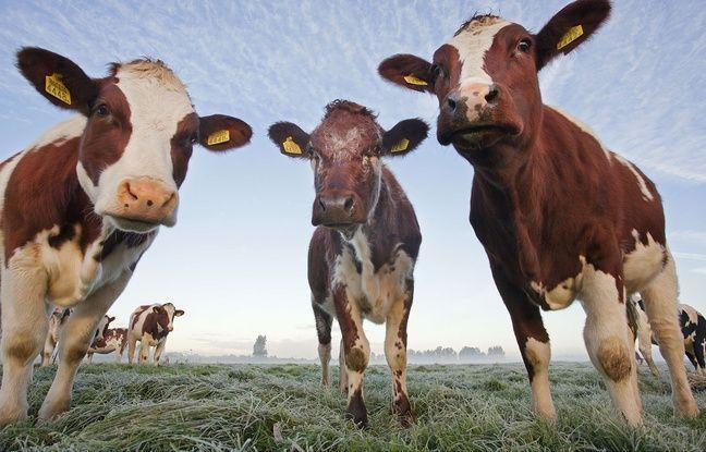 Des vaches dans un pré (illustration).