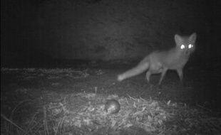 Un renard dérobe une boule de pétanque dans le Gers, en avril 2012.