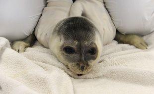 Le bébé phoque annelé recueilli à Audenge mesure 87 cm.