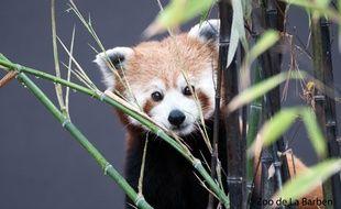 Un des pandas roux de la Barben
