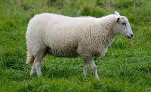 Un mouton dans un champ. (Illustration)