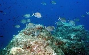 """Plongee sous-marine avec """"Le Club sous l'Eau"""" pres de Saint-Raphael dans le Var. Fond marin typique de la Méditerranée avec banc de sars."""