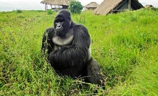 Un gorille, le 7 avril 2011, dans le parc national de Virunga
