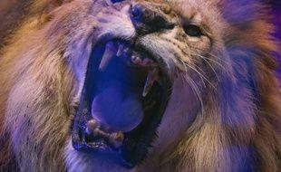 Un lion, dans un cirque (illustration)