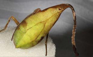 Repérée dans une forêt chinoise en 2011, une araignée extrêmement rare revêt des couleurs vertes et marrons et peut aisément se confondre avec une feuille morte.