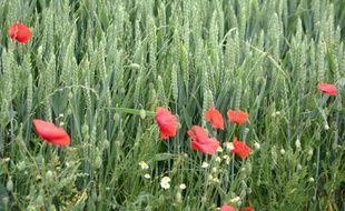 Vue prise le 10 juin 2004 à Gamaches-en-Vexin, d'épis de blé et de coquelicots dans un champ