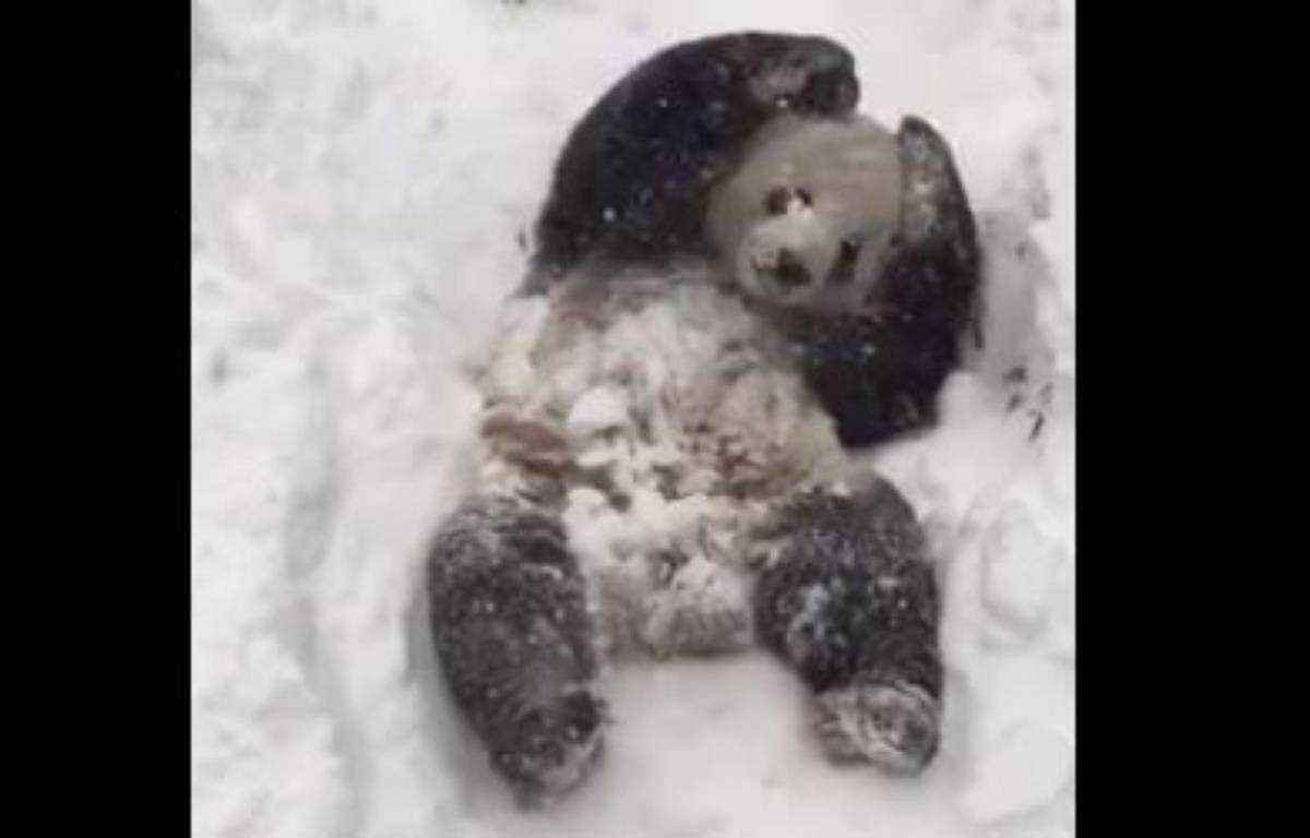 Le panda Tian Tian profite de la neige au Smithsonian Zoo de Washington. – Smithsonian National Zoological Park